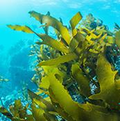 济州岛海藻